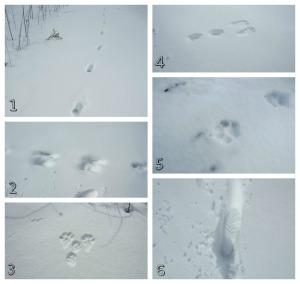 Animal Tracks6