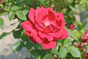 rose bush close up